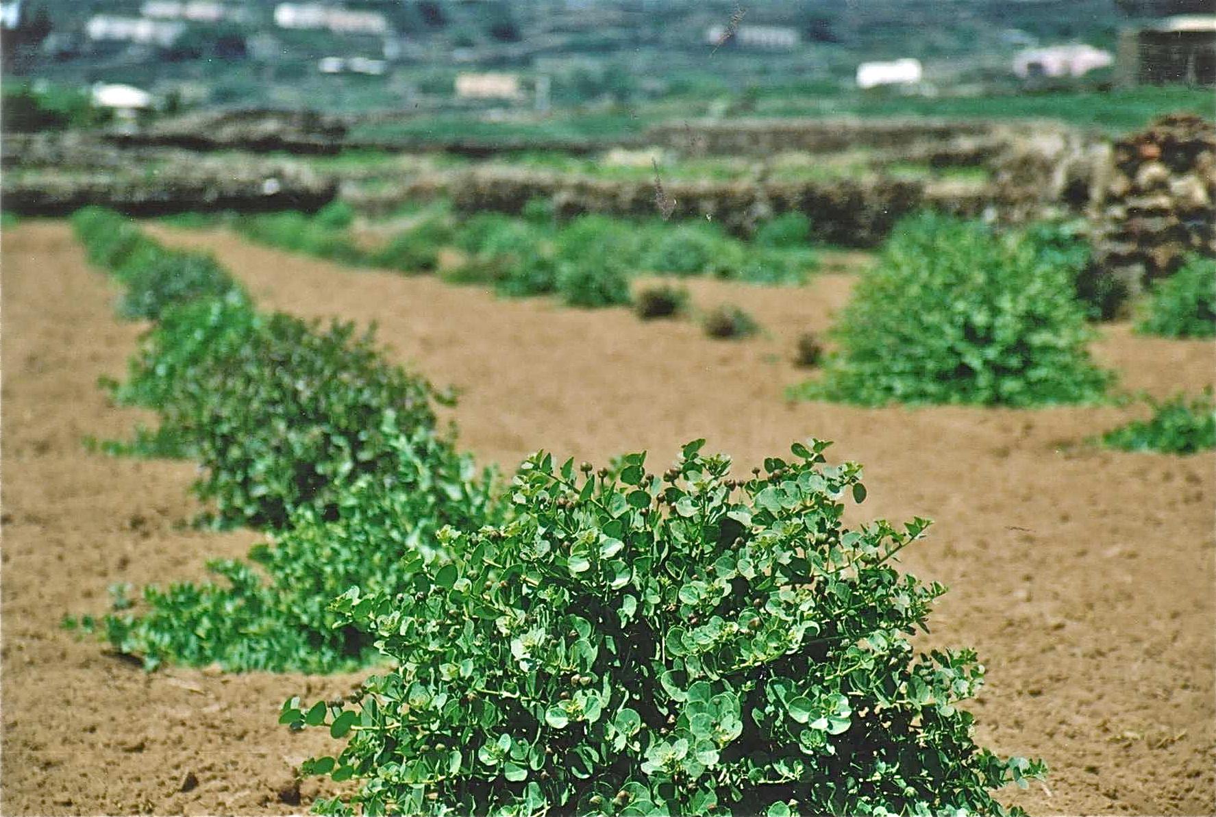Caper farm Pantelleria Island italy