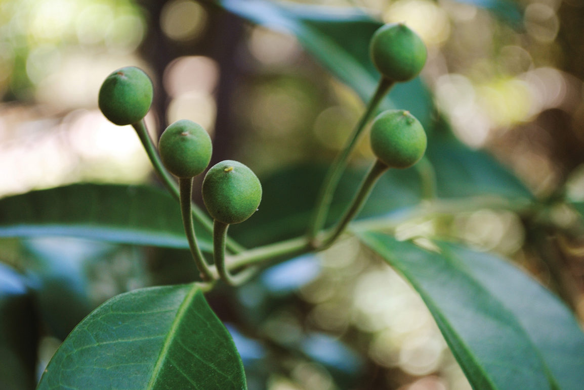 Flower buds of Capparis arborea
