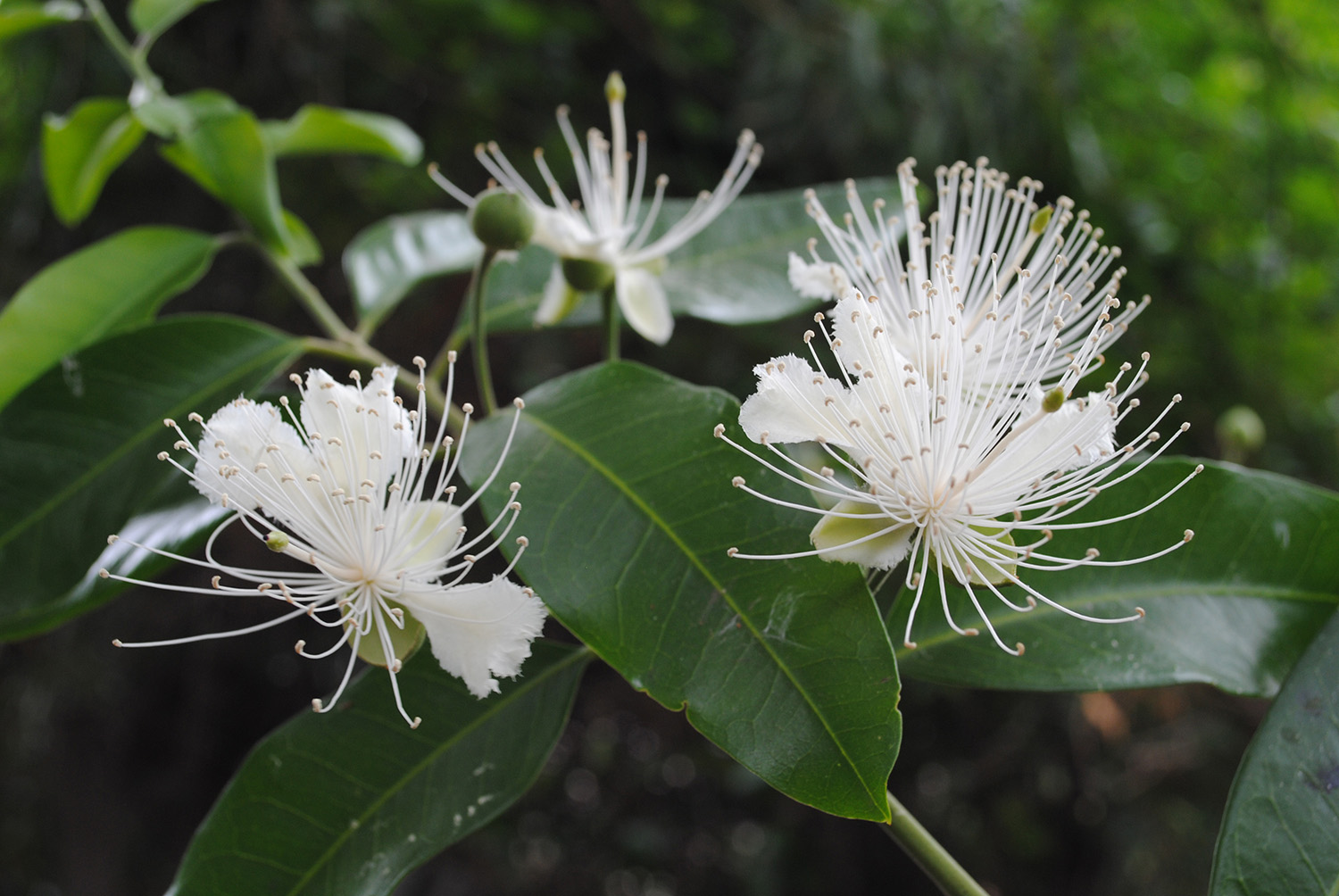 Flowers of Capparis arborea