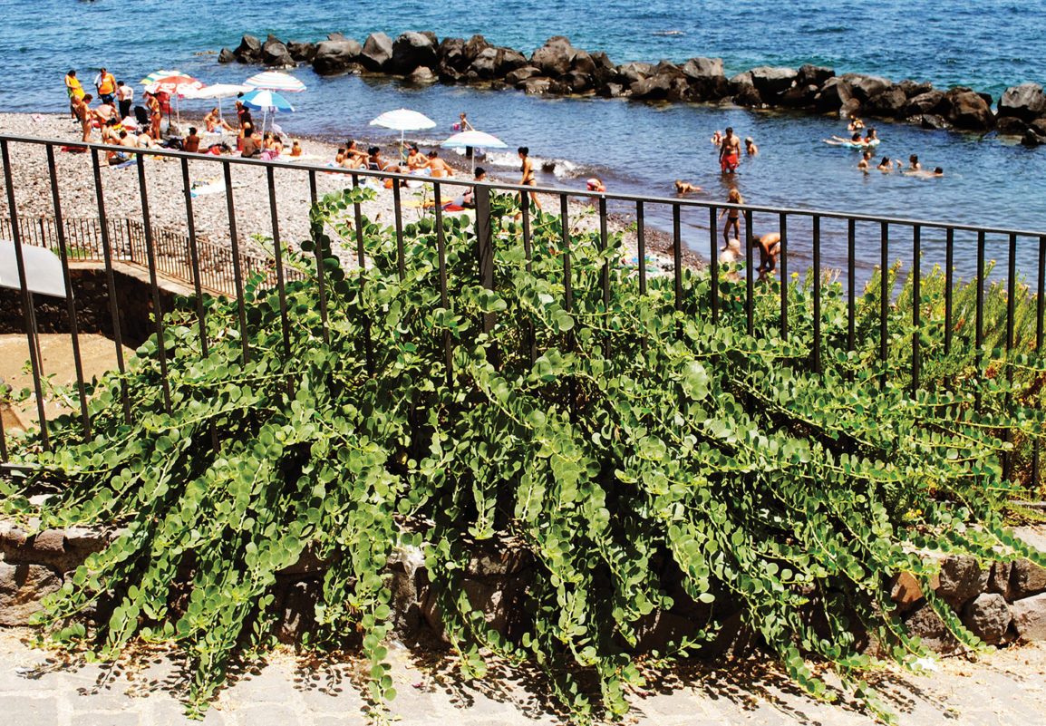 Caper plant at the beach on the Island of Salina, Italy