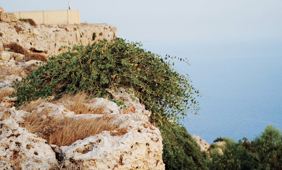 Capers growing wild on the cliffs of Dingle Malta