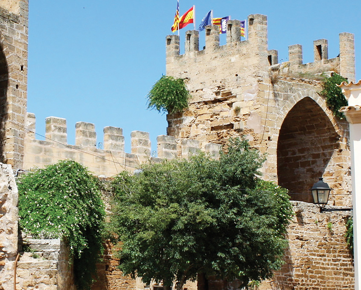 Caper plants growing on the castle walls in the Balearic Island of Spain Photo by Dale Hill-Power