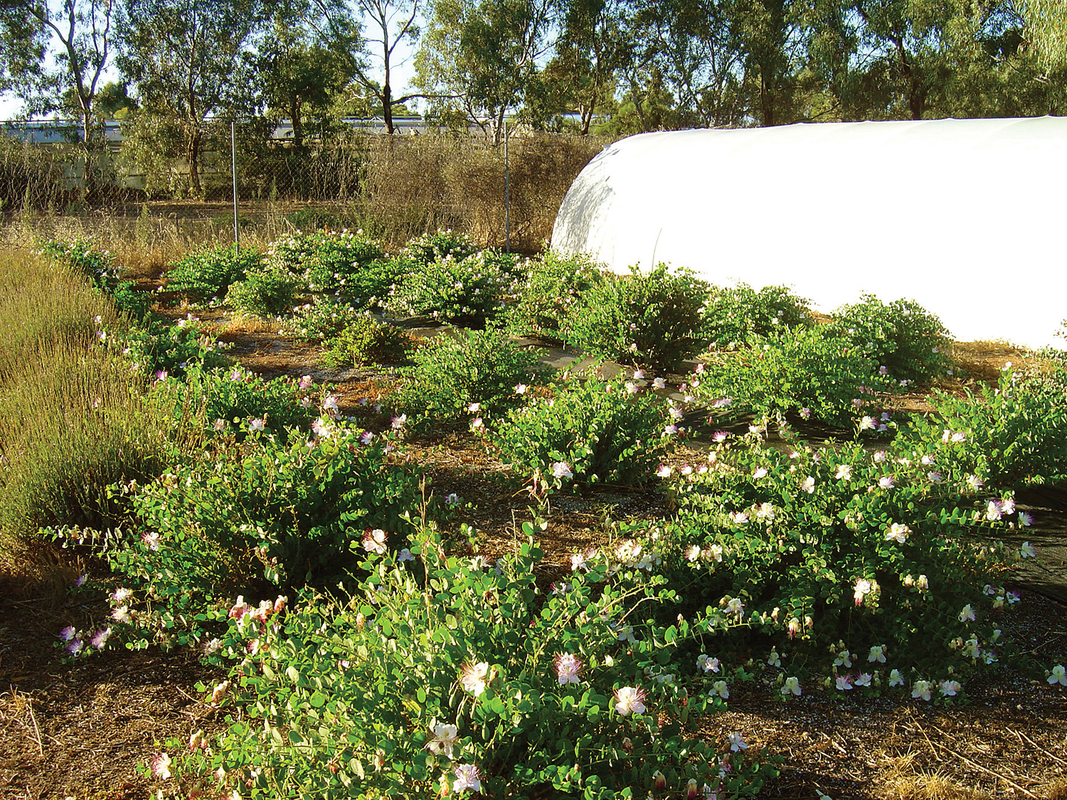 Flowering caper plants Angle vale South Australia