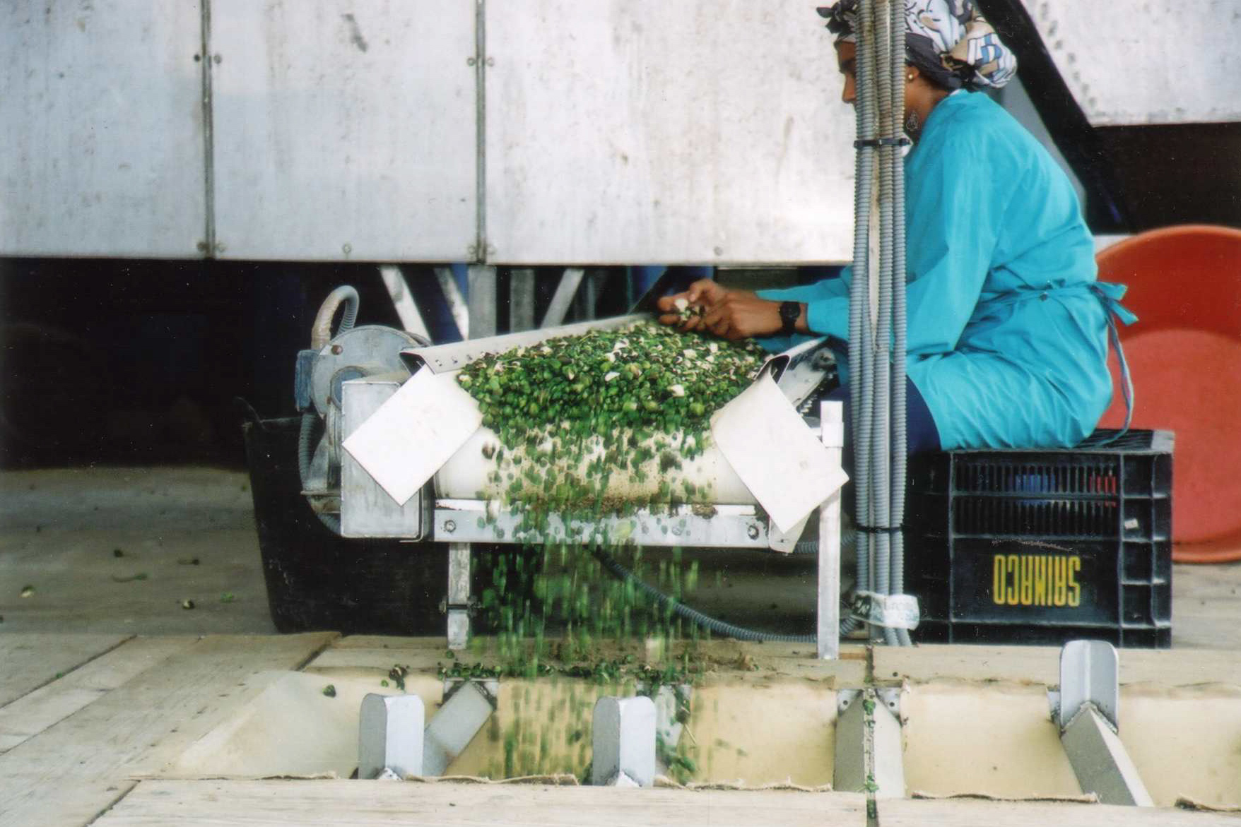 Cleaning and sorting the harvest in the Caper factory in Fez Morocco
